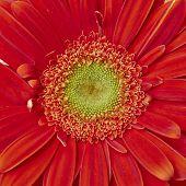 red Gerber daisy flower closeup