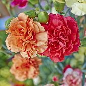 red and orange carnation flowers closeup