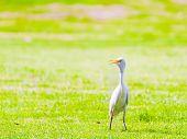 White Egret In The Park