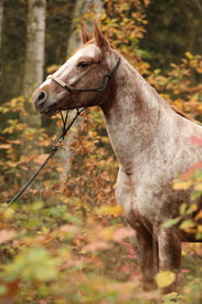 picture of appaloosa  - Portrait of nice appaloosa mare standing in autumn forest - JPG
