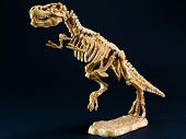 pic of darwin  - dinosaur Tyrannosaurus T Rex statuette skeleton on black background t - JPG