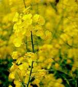stock photo of rape-seed  - Close up of rape flower in the filed - JPG