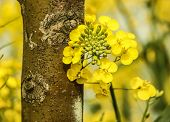 image of rape-seed  - Close up of rape flower in the filed - JPG