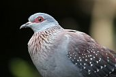 Rock Pigeon Bird