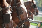 picture of carriage horse  - horses with blinders - JPG