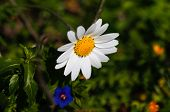 picture of daisy flower  - White daisy flowers - JPG