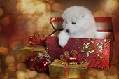 foto of christmas puppy  - Adorable Samoyed puppy in a gift box in front of Christmas background - JPG