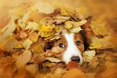 picture of collie  - young red border collie dog playing with leaves in autumn - JPG
