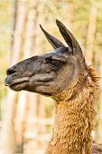 Lama head