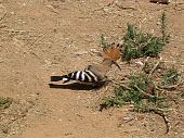 Or Yehuda Hoopoe 2004