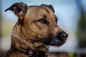 stock photo of shepherd dog  - Profile of a rescue dog who is a mix of German Shepherd and Basenji - JPG