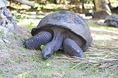 pic of tortoise  - Aldabra giant tortoise eats grass in island Curieuse - JPG