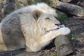 picture of african lion  - Male white South African lion  - JPG