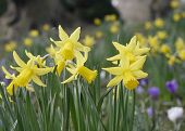 foto of early spring  - Closeup of early spring daffodils growing in park - JPG