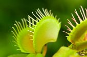 pic of flytrap  - Dionaea muscipula , known as flytrap, in closeup, isolated on nature background