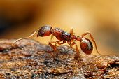 image of ant  - Closeup of myrmica ant with blurry background - JPG