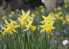picture of daffodils  - Closeup of early spring daffodils growing in park - JPG