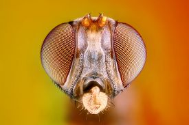 stock photo of mm  - Extreme sharp and detailed study of 3 mm fly head taken with microscope objective stacked from many shots into one photo - JPG