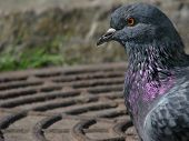 Profile of the rock dove
