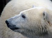 Profile of the polar bear