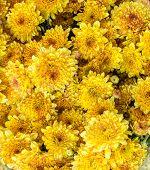 image of chrysanthemum  - closeup of Chrysanthemum banch in flower market - JPG