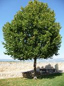 Wonderful tree, in Frias, Burgos, Spain poster