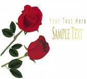 Photo-realistic vector illustration. Two red roses isolated on the white background.