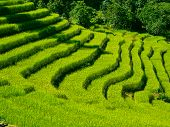 Beautiful Green Rice Fields In Sikkim, India