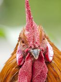 stock photo of poultry  - Funny close up of a red rooster over a green background