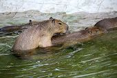 Capybaras and love
