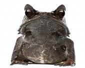 Long-nosed Horned Frog, Megophrys nasuta, in front of white background