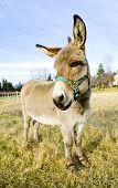 donkey, Vermont, USA