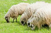 sheep on meadow, Bosnia and Hercegovina