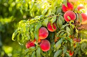 Fresh Ripe Peach On Tree In Summer Orchard poster