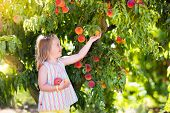 Child Picking And Eating Peach From Fruit Tree poster