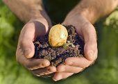 Hand holding plant, potato seed