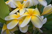 Frangipani amarillo blanco