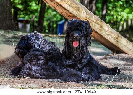 poster of Two Big Dogs Of Russian Black Terrier Breed Lay On The Ground. Outdoors, Sunny Day, Dog Sport Ajilit
