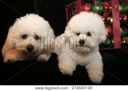 poster of Christmas Dog. Two Bichon Frise dogs on black velvet. Christmas Decorations. Christmas portraits. Cu