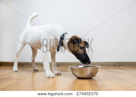 Smooth Fox Terrier Puppy Eats