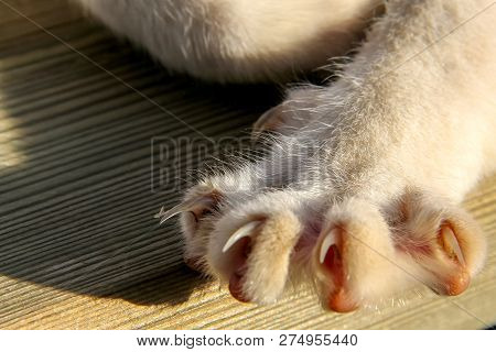 poster of Cat Paws Closeup. Cat Paw On The Wooden Floor. Lying Cat On Wooden Floor. Cat Is Small Domesticated