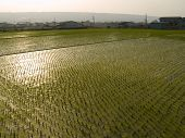 Rice Paddy In Asia