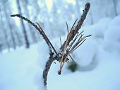 Dry Pine Twig With Pine Needles In A Clearing In A Snowy Forest. December Day In The Winter Pine For poster