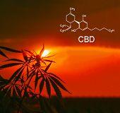 Cannabis Of The Formula Cbd. Growing Premium Marijuana Products. Medical Thc Content In Sativa, Indi poster