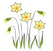 Flowers - daffodil