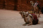 Camels Hangin Out