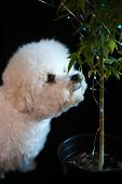 Marijuana Plant. Bichon Frise dog Sniffs a Marijuana Plant. Marijuana Plant with Christmas Lights. S poster