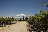 picture of aconcagua  - wine landscape with vineyards and Andes mountains - JPG