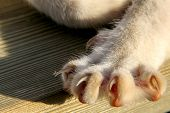 Cat Paws Closeup. Cat Paw On The Wooden Floor. Lying Cat On Wooden Floor. Cat Is Small Domesticated  poster