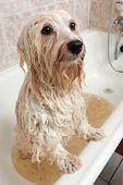 A Bathing Havanese Dog